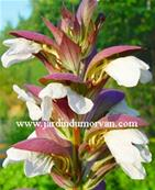 ACANTHUS 'HOLLARD'S GOLD'