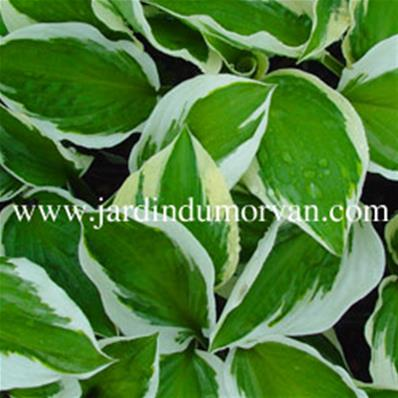 HOSTA PATRIOT' (176)