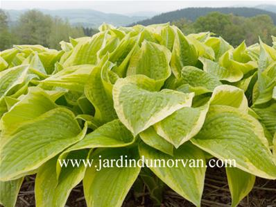 HOSTA SHADE FANFARE' (177)