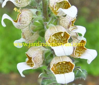 DIGITALIS FERRUGINEA (152)