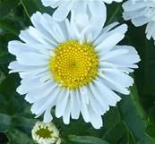 LEUCANTHEMUM REAL JOY