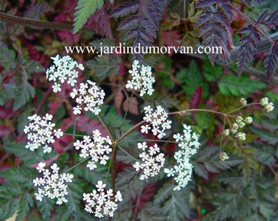 ANTHRISCUS SYLVESTRIS RAVENSWING' (115)