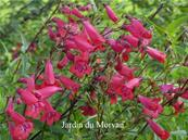 PENSTEMON 'WINDSOR RED'