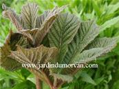 RODGERSIA AESCULIFOLIA IRISH BRONZE' (175)