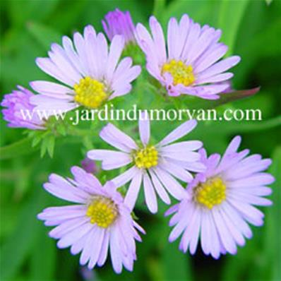 ASTER KYLIE (3)