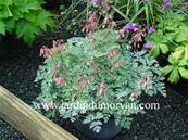 DICENTRA PERCY PICTON'