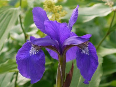 IRIS SIBIRICA MY LOVE