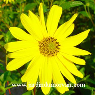 Helianthus decapetalus 'Monarch' (080)