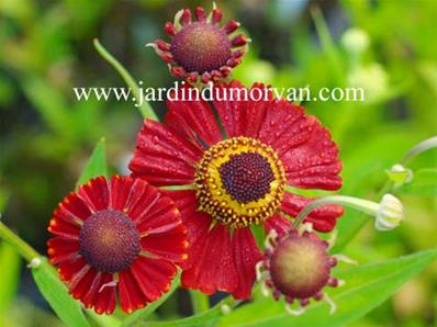 HELENIUM RUBY TUESDAY' (25)