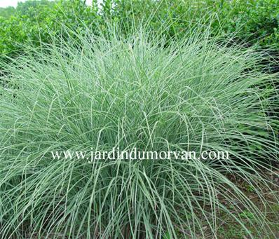 MISCANTHUS SINENSIS MORNING LIGHT' (191)
