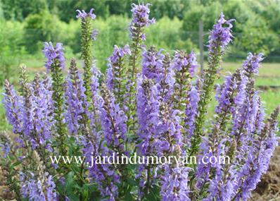 SALVIA NEMOROSA BLAUHUGEL'(96)