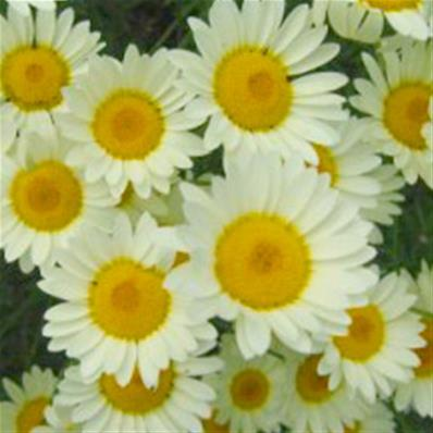 ANTHEMIS TINCTORIA SAUCE HOLLANDAISE'(51)
