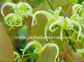 EPIMEDIUM GRANDIFLORUM KOREANUM