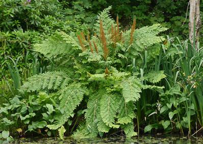 OSMUNDA REGALIS PURPURASCENS