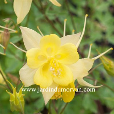 AQUILEGIA CHRYSANTHA 'DENVER GOLD'