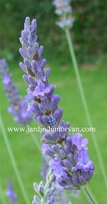 LAVANDULA INTERMEDIA 'DUTCH'